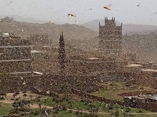 أسراب كبيرة من الجراد تجتاح مناطق متفرقة من مدينة يافع بلحج