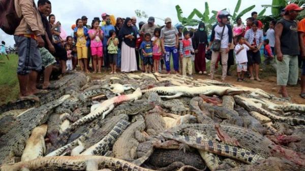 إندونيسيا: قرويون يقتلون نحو 300 تمساح في هجوم انتقامي